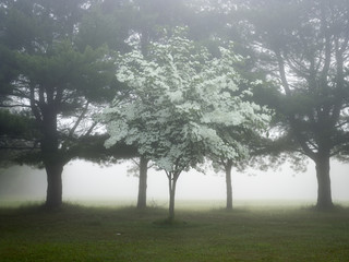 Sapling in fog with mature trees