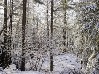 Snow covered trees in woodland
