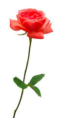 Beautiful flower red rose isolated on white background
