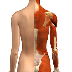 Female Muscles Split Skin Layer Back View