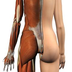 Female Muscles Split Skin Layer Rear View