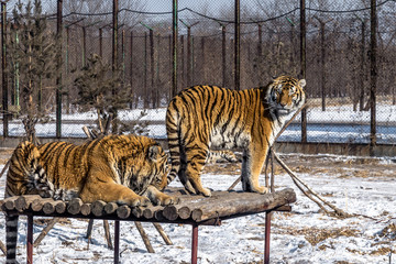 Siberian Tigers in Harbin, China