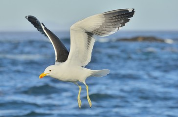 Flying Kelp gull (Larus dominicanus), also known as the Dominican gull and Black Backed Kelp Gull. False Bay, South Africa