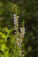 Wild Purple Common Heather, Calluna vulgaris, blossom close-up, selective focus, shallow DOF
