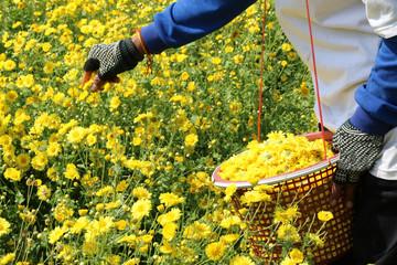 Farmers are storing flower Chrysanthemum.