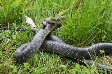 Äskulapnatter (Zamenis longissimus) in Verteidigunsstellung im Gras