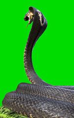 King Cobra The world's longest venomous snake isolated on green background, King cobra snake 3d illustration, King cobra snake 3d Rendering on grass