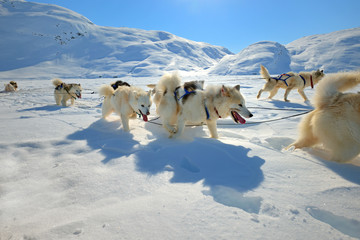 Sled dogs on the pack ice