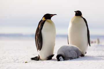 Emperor penguin family, chick taking a nap