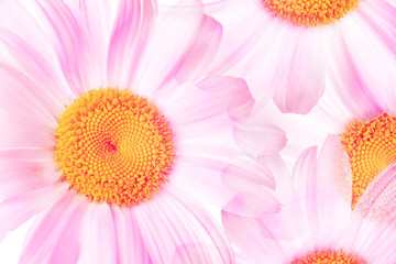 Colorful floral  wallpaper. Soft blurred style poster. Camomiles, daisy flowers fantasy in pink colors