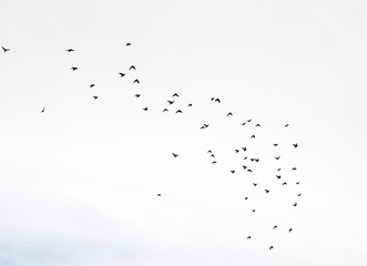Large flock of birds flying in the blue sky with white clouds