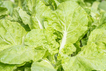Macro image of fresh Chinese cabbage.