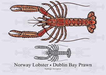 Norway Lobster, Dublin Bay Prawn. Vector illustration for artwork in small sizes. Suitable for graphic and packaging design, educational examples, web, etc.