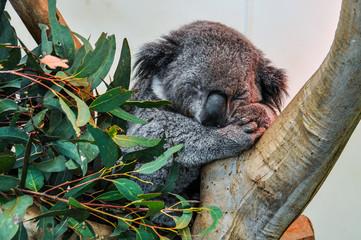 Sleeping koala in Featherdale Wildlife Park, Australia