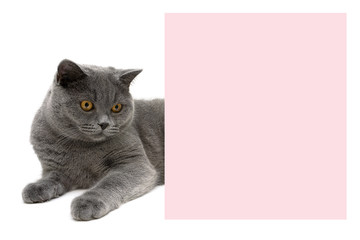 gray cat lying near a banner on a white background