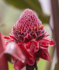 Ginger Flower, Cloud Forest, Ecuador