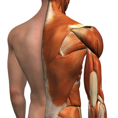 Male Shoulder Muscles with Cut-Away Skin Layer