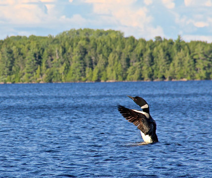 Loon on a lake in Maine