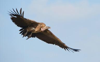 Flying White-backed vulture (Gyps africanus)