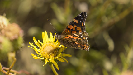 Mariposa Chilena