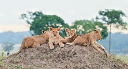 Group of young lions on the hill. The lion (Panthera leo nubica), known as the East African or Massai Lion