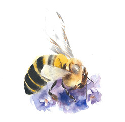 Bee collecting nectar watercolor painting illustration isolated on white background