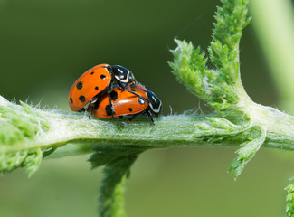 Convergent Lady Beetles mating on a yarrow stalk in spring