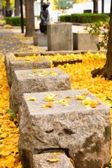 Stone seats in fallen yellow gingko leaves under gingko tree on footpath at autumn beside a road around Himeji Castle, Japan