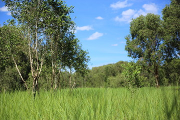 Grass and Melaleuca trees Wetland in Rayong Thailland