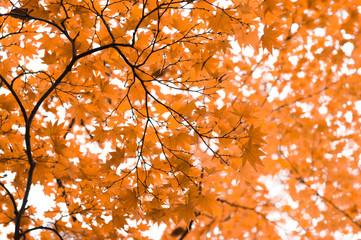 Maple leaves in Autumn season.Japan