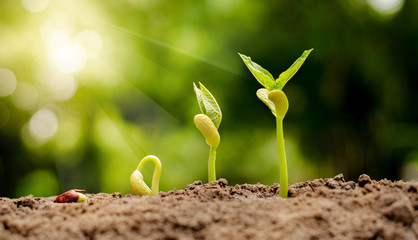 germinating seed to sprout of nut