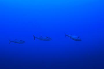Tuna fish in sea