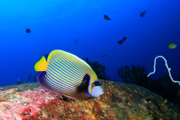 Tropical reef fish: Emperor Angelfish