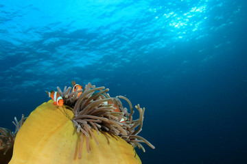 Clownfish anemonefish nemo fish in coral reef