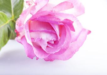 Beautiful pink rose over white