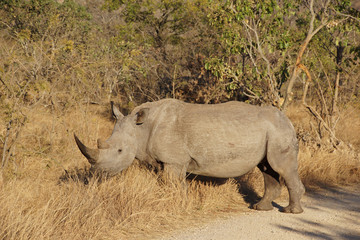 white rhino in the African bush