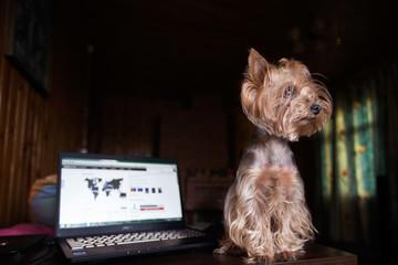 Йоркширский терьер сидит на столе рядом скомпьютером