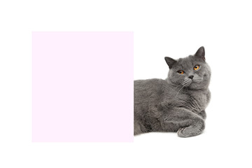 cat lies about pink banner on a white background
