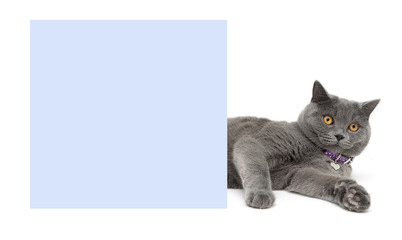 cat lying next to the blue banner on a white background