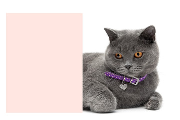 Cat in a beautiful collar is about a banner on a white backgroun