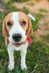 Cute beagle portrait
