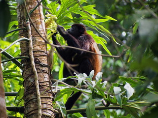 Mantled howler monkey, Alouatta palliata, eating  leaf, Cahuita national park, Costa Rica, Central America