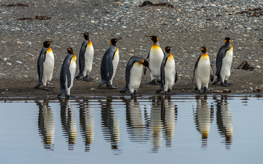 King Penguins in Tierra del Fuego, Chile