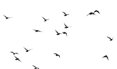 Printed roller blinds Bird flock of pigeons on a white background
