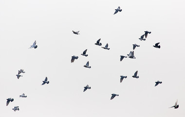 a flock of pigeons in the gray sky