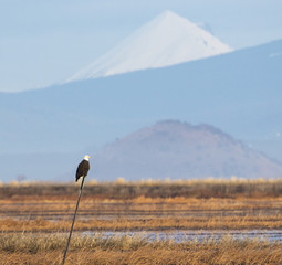 Bald Eagle Perched on a Pole in the Lower Klamath Wildlife Refug