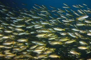 Fish school on coral reef in Indian Ocean