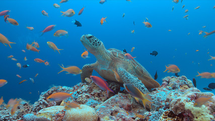 Green Sea turtle on a colorful coral reef with plenty fish.