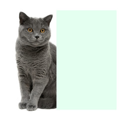 gray cat sitting behind a banner on a white background