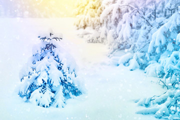 Merry Christmas and happy New Year greeting card background. Winter landscape with snow and Christmas tree spruce in the forest under the snow in the morning toned blue in the sunlight.